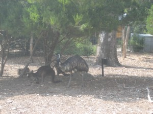 Roos and an Emu!